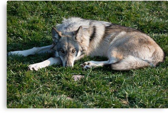 Grey Wolf by Bryan Shane