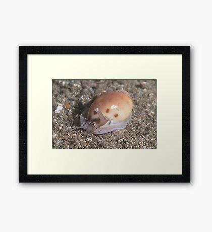 Helmet Snail Framed Print