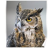 Great Horned Owl in Repose Poster