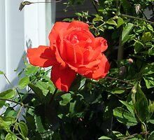 a lovely rose  by margaret hanks
