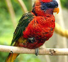 Rainbow Colored Lorikeet Bird posting in a Tree by Amy McDaniel