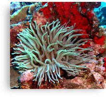 Giant Green Sea Anemone feeding near Red Coral Reef Wall Canvas Print