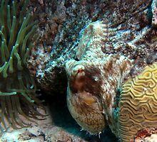 Caribbean Reef Octopus in Coral Reef home by Amy McDaniel