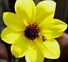 Yellow Dahlia Flower with Ladybug  by Amy McDaniel