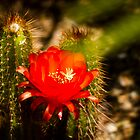 Red Cactus Flower by George Lenz