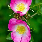 Rosa Canina by Margaret S Sweeny