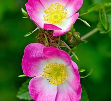 Rosa Canina by M.S. Photography & Art