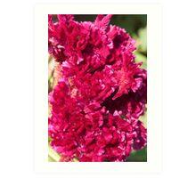 Cockscomb Flower Art Print