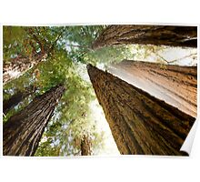 Redwood Canopy Poster
