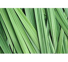 Gladiolus Leaves Photographic Print