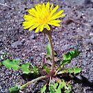 Yellow dandelion by Arve Bettum