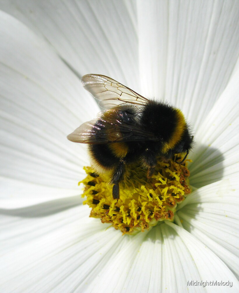 Bee On Sunlit White Flower by MidnightMelody