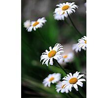 daisy select.. Photographic Print