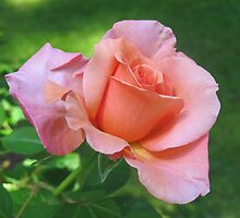 """Sunset Celebration"" Rose by Pat Yager"