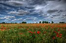 Essex Poppy Field by Nigel Bangert
