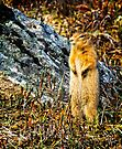 Richardson's Ground Squirrel by Yukondick