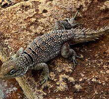 Spiny tailed Iguana  - Oplurus cyclurus - Isalo Madagascar by john  Lenagan