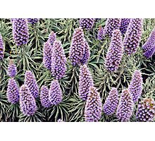 Lupin Heaven Photographic Print