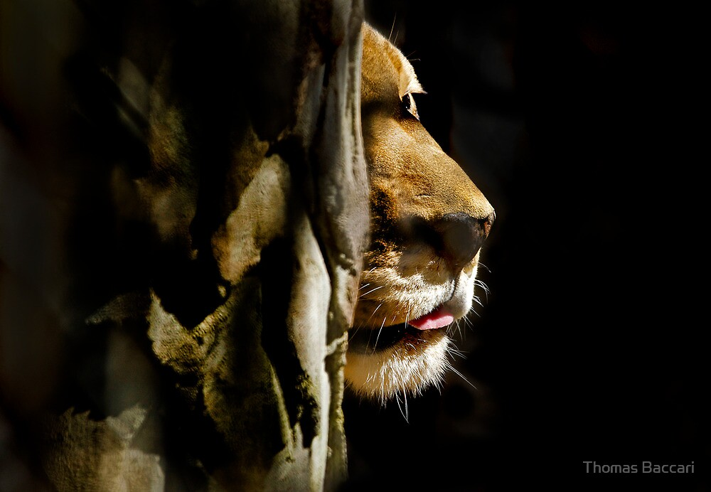 LION PEEKS AROUND THE CORNER by TJ Baccari Photography