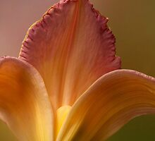 Petals of Lily by Kathilee