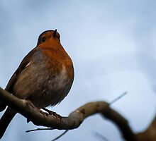Rockin Robin by LouiseGroom