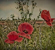 Three Poppies by Dave Godden