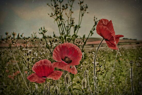 Three Poppies by Dave Godden