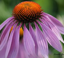 Purple Cornflower by Lorelle Gromus