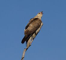 Call Of the Wild   Whistling Kite  by Kym Bradley