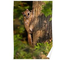 Northern Flying Squirrel in Habitat. Poster