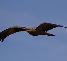 Whistling Kite  in flight by Kym Bradley