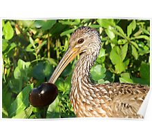 A Limpkin with its catch ! Poster