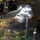 Milkweed Pod Explosion ~ Nature by SummerJade