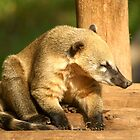 Ringtailed Coati by cs-cookie