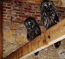 Owls. by littleredbird