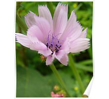 Pink Chicory Poster