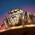 Evarcha arcuata(Salticidae) jumping spider by Mario Cehulic