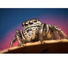 Evarcha arcuata(Salticidae) jumping spider Photographic Print
