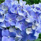Blue Hydrangea by Sheri Nye