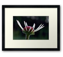 Pale Purple Coneflower - Opening Framed Print