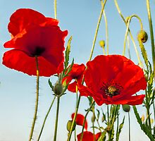 Just a Poppy or Two by mhfore