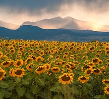 Sunflower Storm by Greg Summers