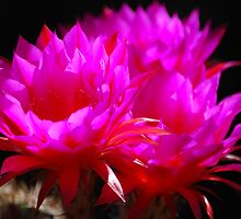 Echinopsis In The Morning Sun by Ron Hannah