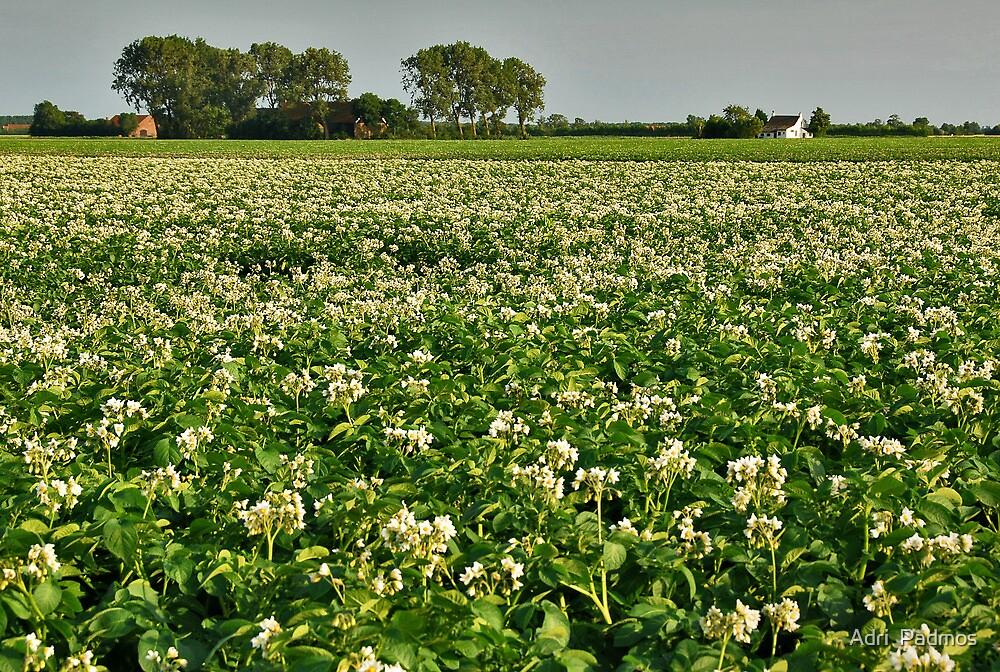 Potatoes in bloom by Adri  Padmos