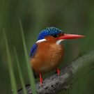 Malachite Kingfisher by Tara Pirie