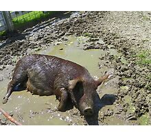 Happier Than a Pig in Mud Photographic Print