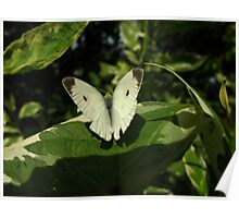 Cabbage White/Pieres rapae Poster