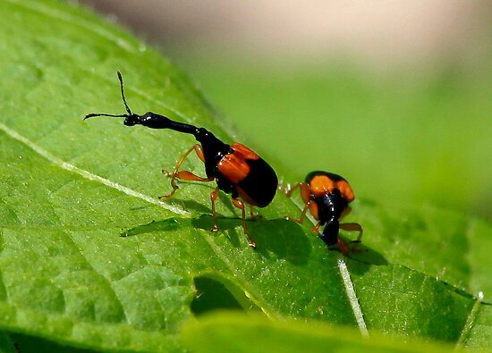 Female and male  Giraffe Beetle  -  Anja Reserve Madagascar by john  Lenagan