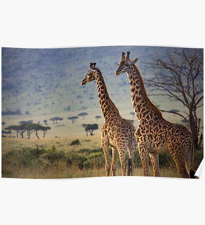 Cautious Giraffe Poster