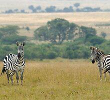 Plains zebras by Valerija S.  Vlasov